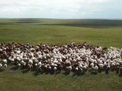 内蒙古送的3万只羊分给谁?给谁吃?什么时候到